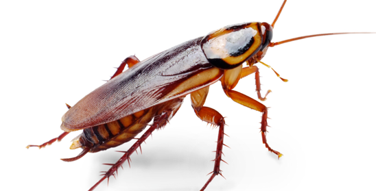 German Cockroach | Pest Control in Staten Island & Brooklyn NY