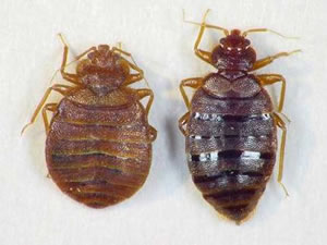 Bed Bugs Termination | Staten Island & Brooklyn